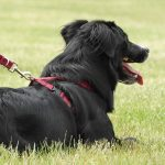 The Pros and Cons of Using a No Pull Dog Harness